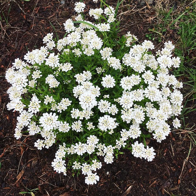Nice little mound of candytuft will be cut back and divided after it blooms. #candytuft