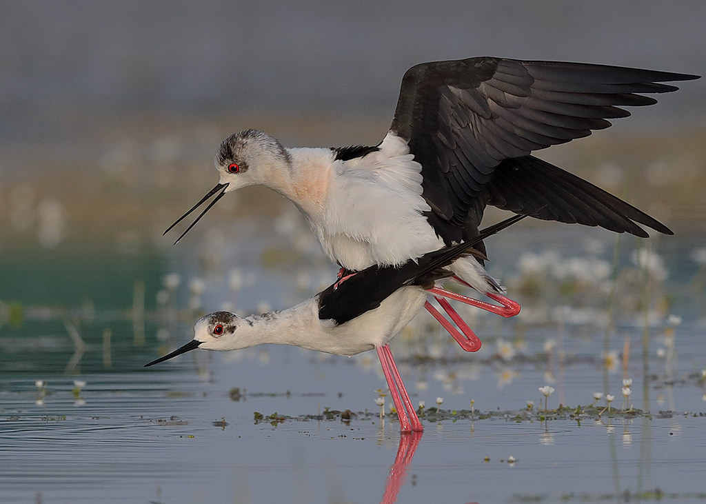 Black-winged Stilt   Himantopus himantopus