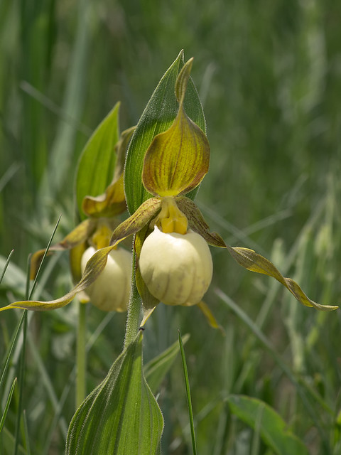 Andrews' Lady's-slipper orchid
