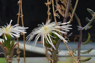 DSC_5961 Drosanthemum marinum  ドロサンテマム マリナム