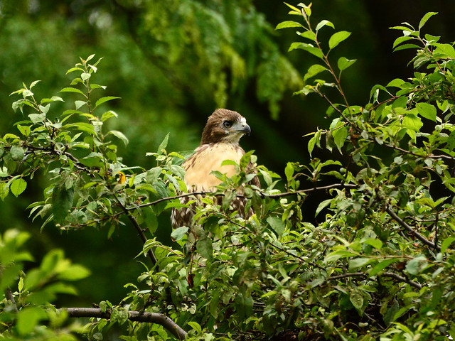 GT Red-Tail Fledgling - 5023