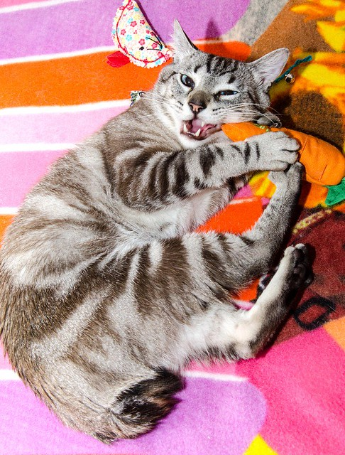 Tango, gato Siamés Tabby de colita corta esterilizado muy guapo, nacido en Enero´16, en adopción. Valencia. ADOPTADO. 35291804121_587f87c020_z