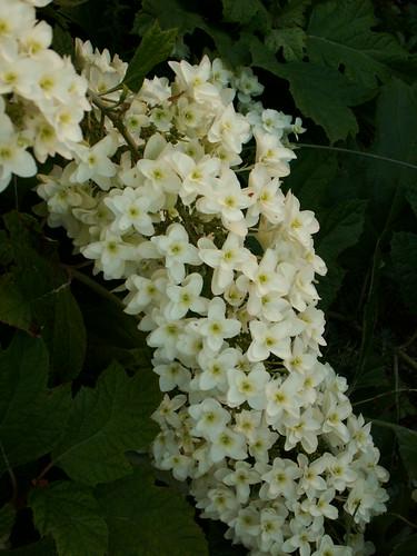 Hydrangea quercifolia 35375375665_8ea865a463
