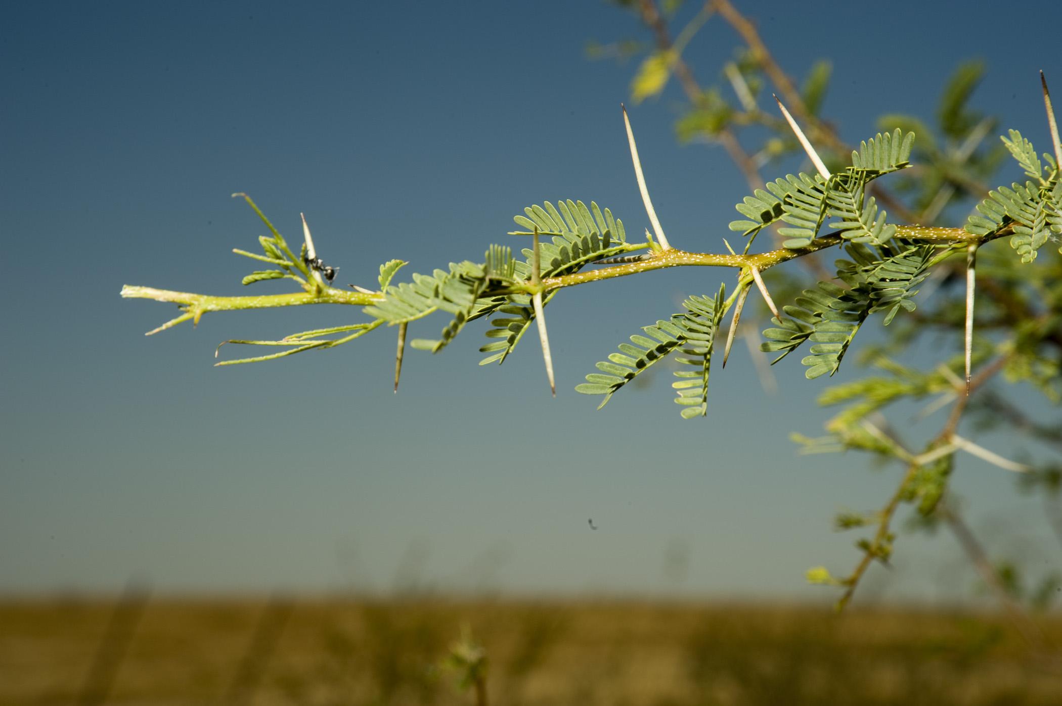 Mesquite Prosopis spp