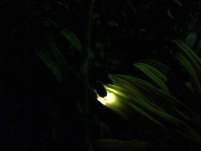 Glowfly