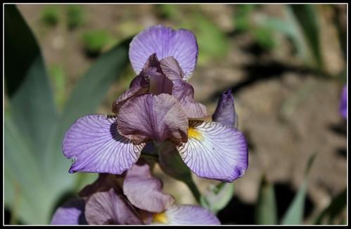 Iris 'Bangles' - Lynda Miller 1993  34159763173_bf585e8d4b