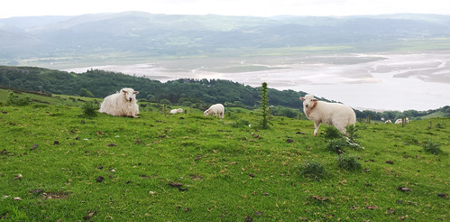 Sheep near Llyn Barfog