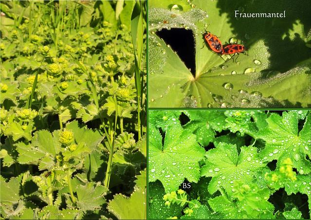 Frauenmantel (Alchemilla) Rosengewächs Blütezeit Mai bis August ... Fotos: Brigitte Stolle