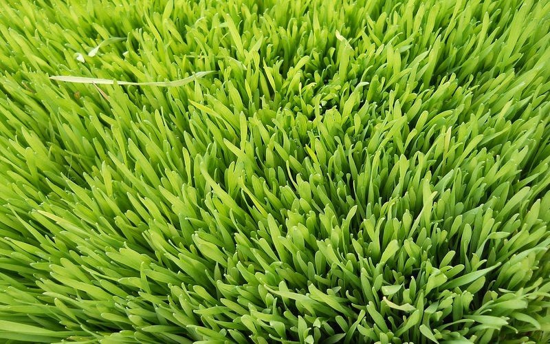 Health Benefits Of Wheatgrass Juice-The Green Wonder Food