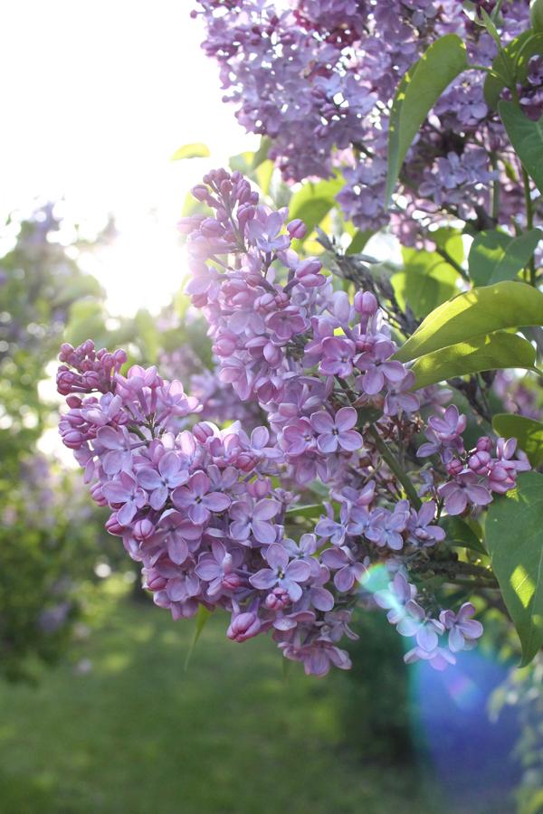 lilac rochester ny