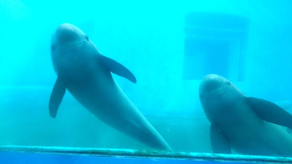 為了科研目的,中國中科院水生所人工養殖江豚。