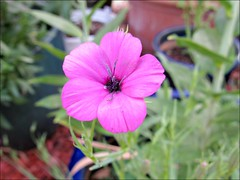 Pink German Catchfly
