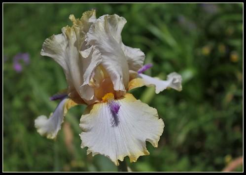 Iris 'Chamois d'Or' - Luc Bourdillon 2004 34948465522_f2e8895d40