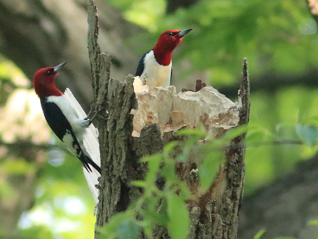 Red-headed Woodpeckers 04-20170528