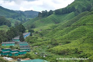 cameron highlands tea 1