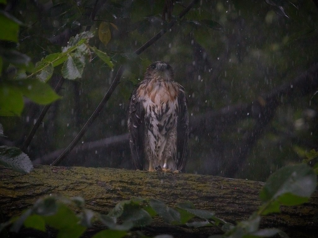 Tompkins fledgling #2 in the rain