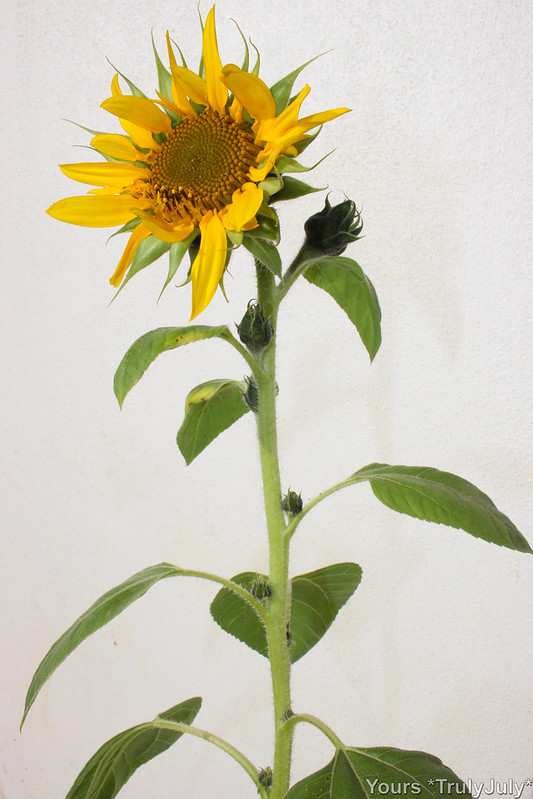 How many flowers is this sunflower going to sprout?