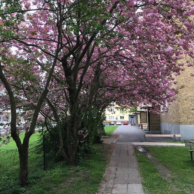 tuesday, cherry blossoms, helsingborg