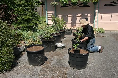 Garden 2017 Planting tomato pots