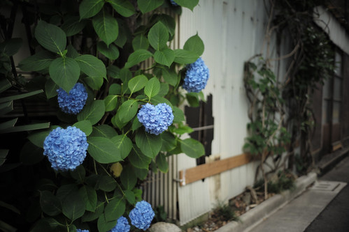 Hydrangea and devastated house