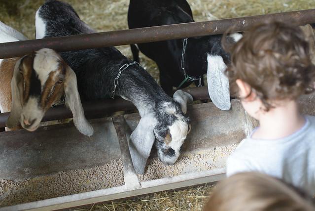 goat farm-42