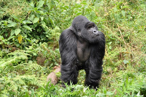 Rwanda Gorilla Trekking. From Intriguing Destinations to See Animals in Their Natural Habitats