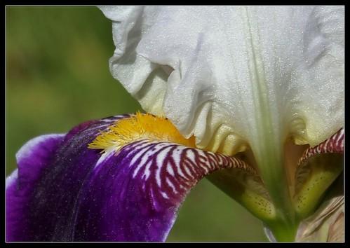 Iris 'Wabash' - Williamson 1936 34571761390_273d47d84d