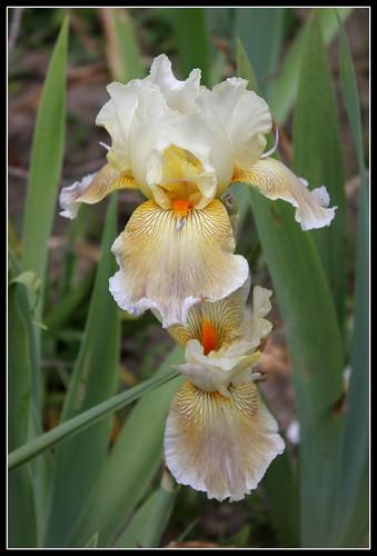 Iris 'Mistigri' - Bernard Laporte 2007 NR 34606317370_7dcc24682e