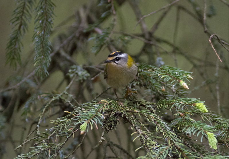 Firecrest, Bedfordshire, 22nd May 2017