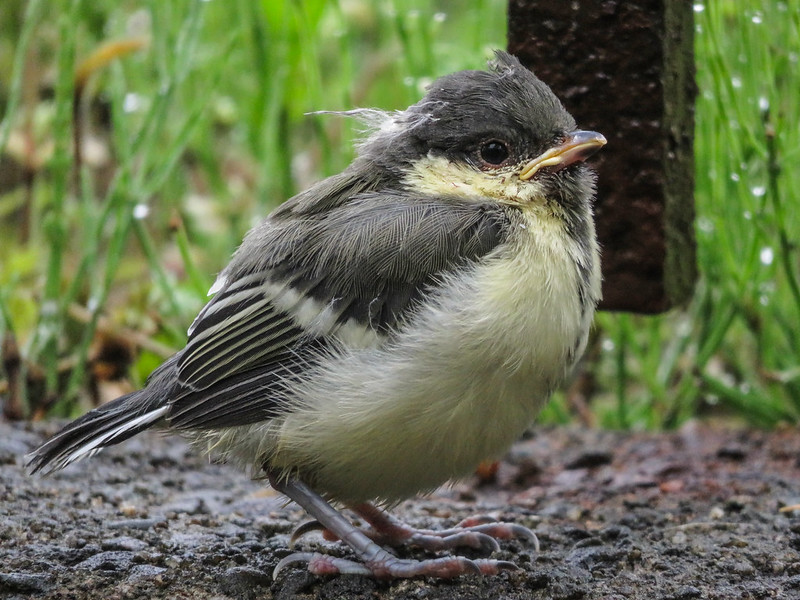 Japanese tit's fledgling