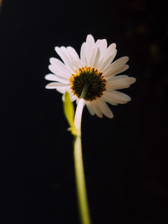 backlit daisy with leaf