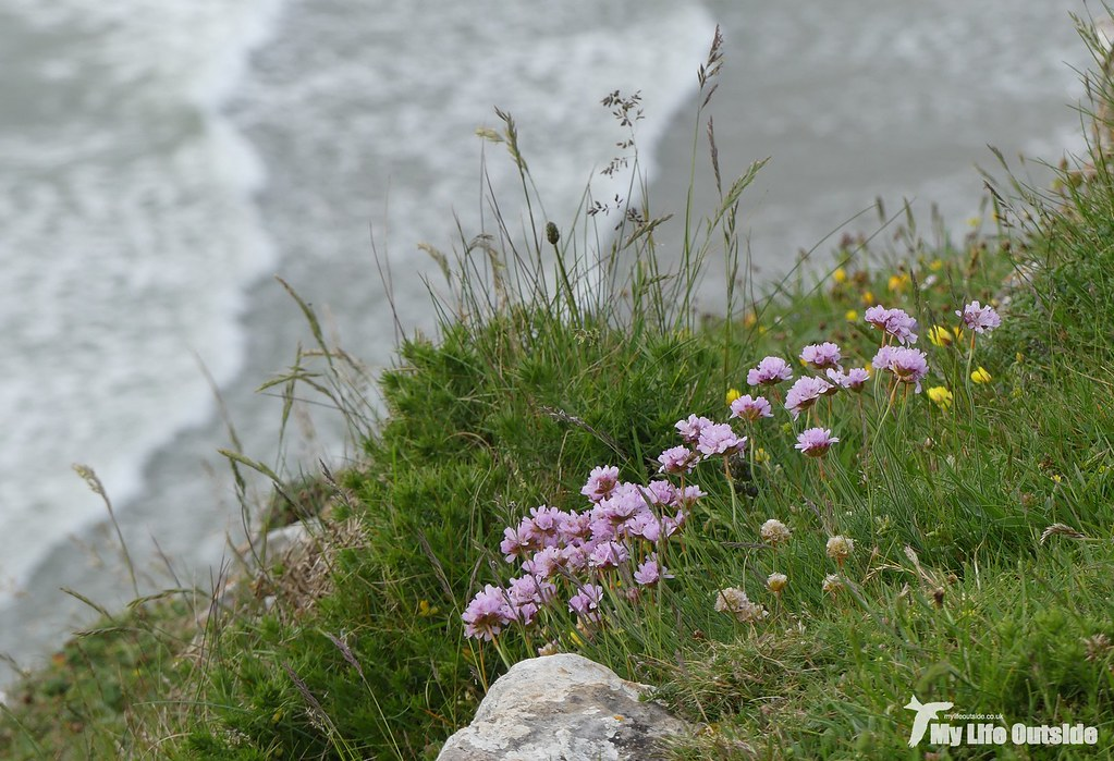 P1080184 - Sea Thrift, Rhossili