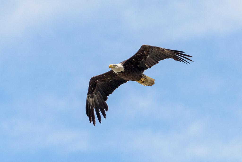 20170524_eagle_flying