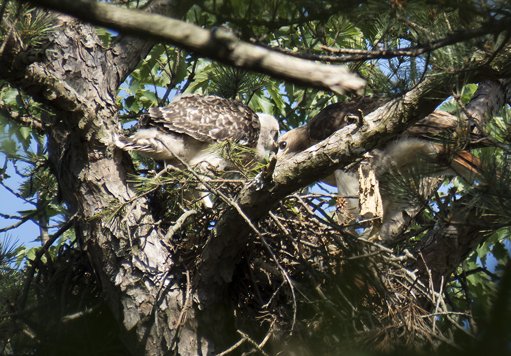 Wild Hawks Nest