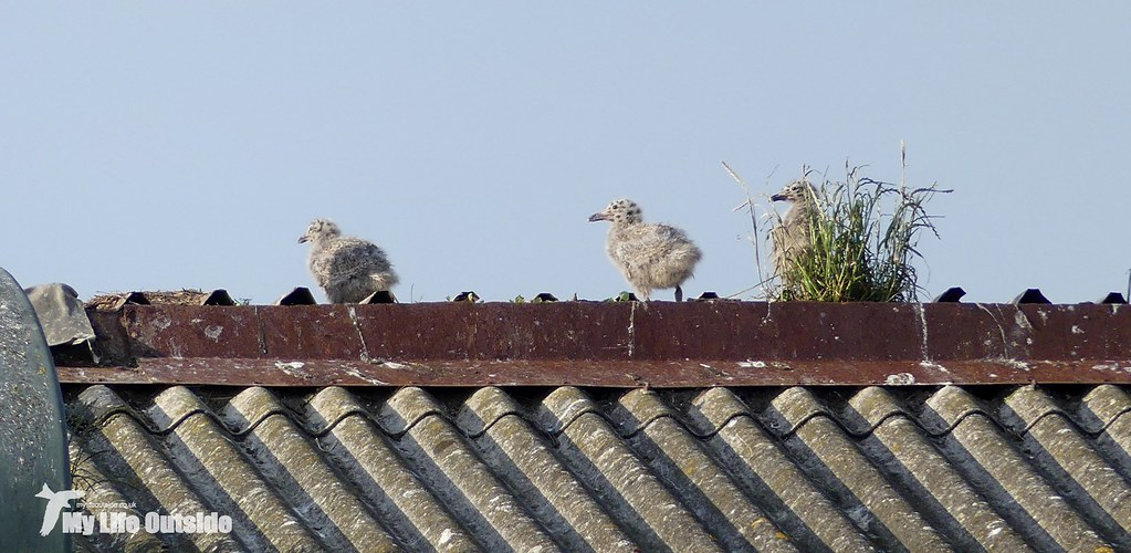 P1080767 - Herring Gull Chicks, Llanelli