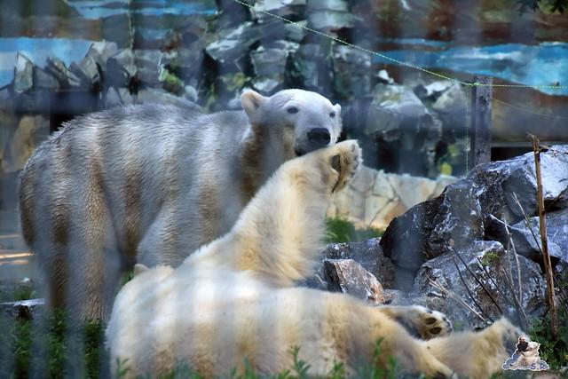 Eisbär Fiete im Sosto Zoo 27.05.2017 033