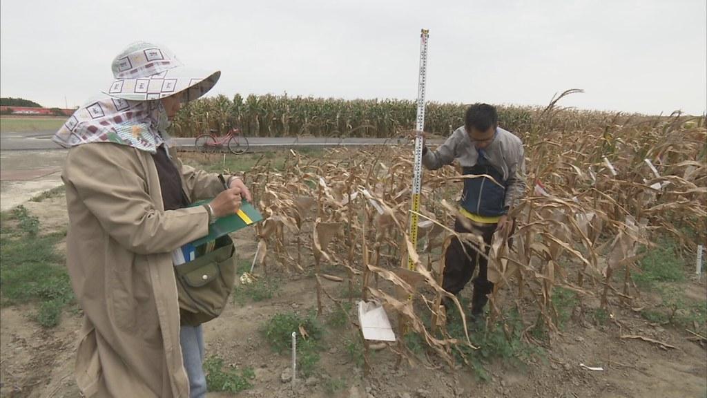 911-1-18 台南農改場朴子分場,是玉米品種改良的重要基地。