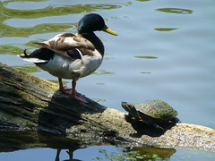 Duck and turtle in Audubon Park