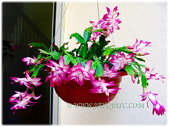 Schlumbergera truncata (Christmas Cactus, Thanksgiving/Holiday Cactus, Zygocactus, Crab Cactus) flowering profusely in a hanging pot at our courtyard, 5 Aug 2005