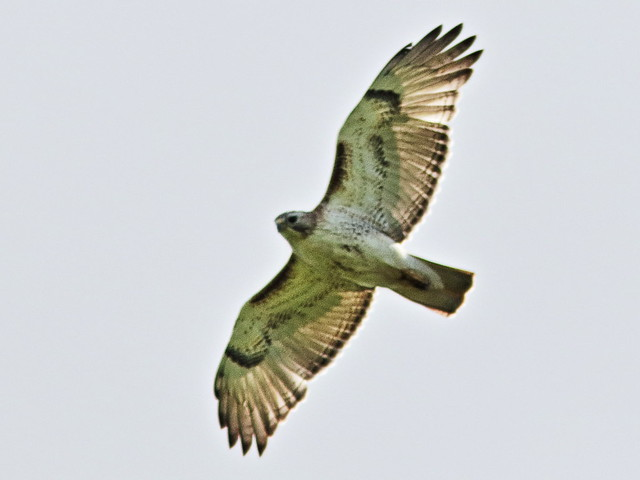 Red-tailed Hawk2- 20170518