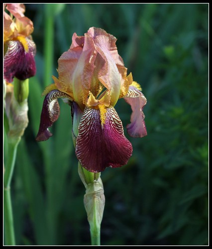 Iris 'Jacquesiana' - Jean-Nicolas Lémon 1840 34112538893_799cc73f8a