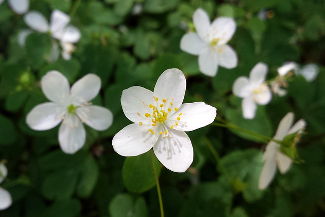 closeup of one white flower with five petals, with half a dozen more in the background