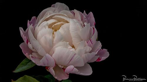 Gardenia (Paeonia lactiflora) Peony