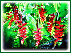 Flowers and paddle-shaped leaves of Heliconia rostrata (Lobster Claw, False Bird of Paradise, Hanging Heliconia), 26 May 2017