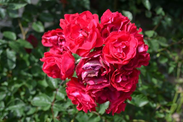 35050774171_317f415609_z Roses