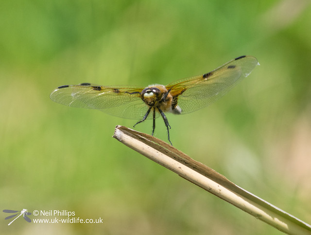 4 spotted chaser-12