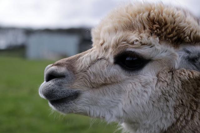 Contemplating life at Mayfield Alpacas Animal Park