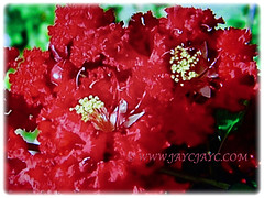 Captivating vibrant red flowers of Lagerstroemia (Crape Myrtle, Crepe Myrtle/Flower, Japanese/Indian Crape Myrtle), 2 June 2017