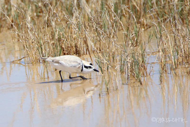 IMG_4114SnowyPlover