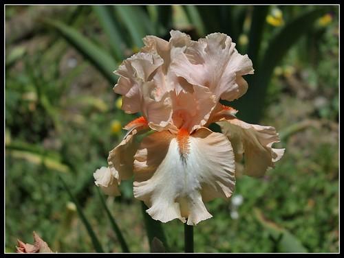 Iris 'Galipette du Barry' - R.L. Vasquez-Poupin (NR) 34140763014_10c9d3308c